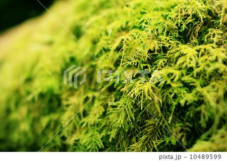 レッドウッド国立公園 03 苔に包まれたレッドウッドの倒木 カリフォルニア 10489599