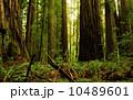 レッドウッド国立公園 05 レッドウッドの巨木 カリフォルニア 10489601