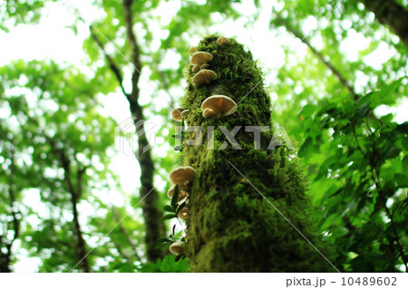 レッドウッド国立公園 06 朽ちたレッドウッドの木に生えた野生のキノコ カリフォルニア 10489602