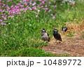 ムクドリ 蓮華 鳥の写真 10489772
