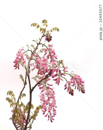 ピンクの藤の写真素材 [10493077] - PIXTA