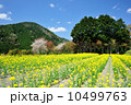 菜の花と杉林 10499763