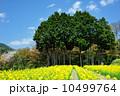 菜の花と杉林 10499764