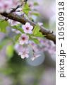 ヤマザクラ 枝 花の写真 10500918
