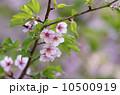ヤマザクラ 枝 花の写真 10500919