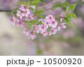 ヤマザクラ 枝 花の写真 10500920