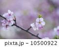 ヤマザクラ 枝 花の写真 10500922
