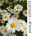 ノースポール 10501675