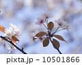 ヤマザクラ 花 桜の写真 10501866