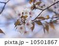 ヤマザクラ 花 桜の写真 10501867
