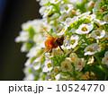 ミツバチとアリッサム 10524770