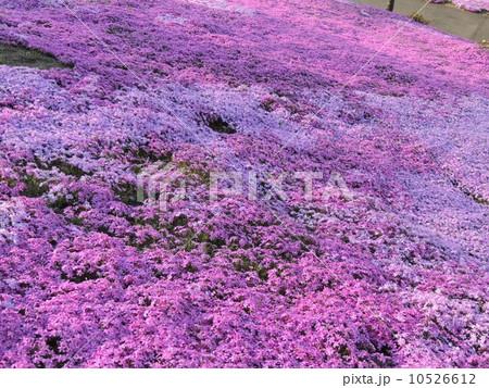 北海道 滝上公園 芝桜 10526612