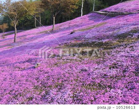 北海道 滝上公園 芝桜 10526613