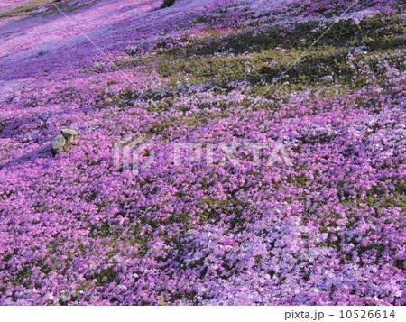 北海道 滝上公園 芝桜 10526614