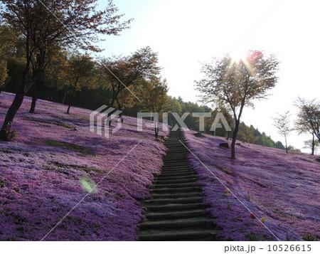 北海道 滝上公園 芝桜 10526615