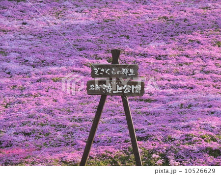 滝上公園 芝桜 10526629