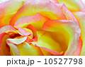 バラ 花びら 黄色いの写真 10527798