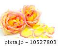 薔薇 黄色い 黄の写真 10527803