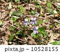 一番良く見られるスミレの花はタチツボスミレ 10528155