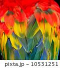 羽毛 朱 紅の写真 10531251