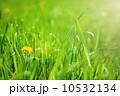 Yellow dandelion flower 10532134