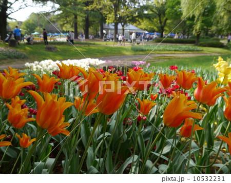 昭和記念公園のチューリップ 10532231