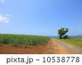 さとうきび 小浜島 さとうきび畑の写真 10538778