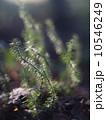 Lycopodium moss 10546249