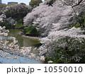 牛ヶ淵 満開 桜の写真 10550010