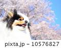 ポメラニアン ポメ 洋犬の写真 10576827
