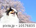 ポメラニアン ポメ 洋犬の写真 10576835