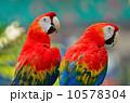 朱 インコ カラフルの写真 10578304