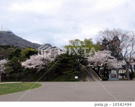 函館公園の桜 10582494
