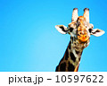 Portrait of Giraffe 10597622