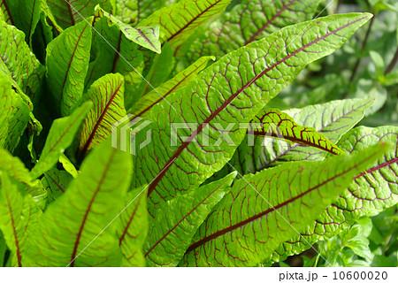 赤い葉脈の緑の葉 10600020