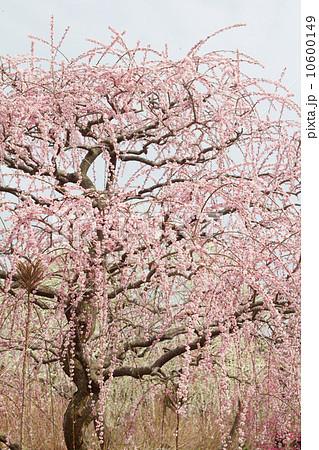 しだれ梅の大木 10600149