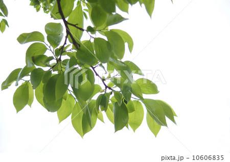 新緑の葉 10606835