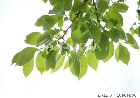 春の葉 10606906