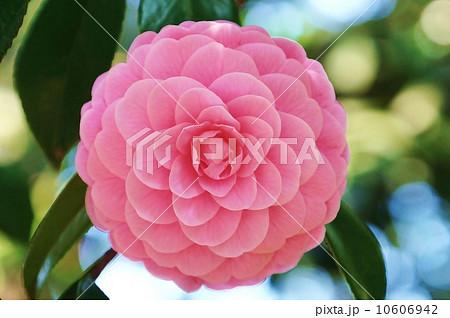 花の背景素材・千重咲き乙女椿のエレガントな花一輪・横位置 10606942