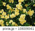 黄モッコウバラ 10609041