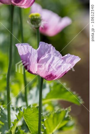 アヘンの原料植物「ケシ(トルコ種)」@東京都薬用植物園 10612540
