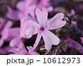 一輪のシバザクラ 10612973
