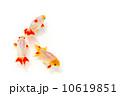 観賞魚 淡水魚 魚の写真 10619851