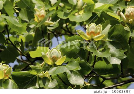 ユリノキの花 10633397