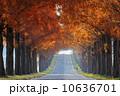 メタセコイア メタセコイヤ メタセコイア並木の写真 10636701