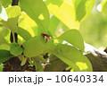 花梨 花梨の実 実の写真 10640334