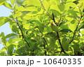 花梨 花梨の実 実の写真 10640335