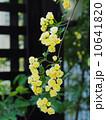 黄モッコウバラ 10641820