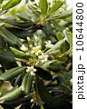 トベラの花 10644800
