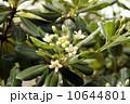 トベラの花 10644801